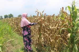 Diduga Tercemar Limbah Tahu, Tanaman Jagung Petani Jogoroto Mengering