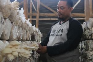 Diserang Hama, Produktivitas Petani Jamur Tiram Pulorejo Ngoro Menurun