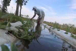 51 Hektare Tanaman di Kecamatan Bandarkedungmulyo Tergenang