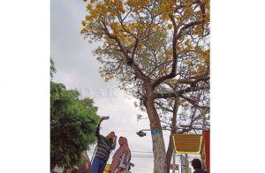 Berbunga, Tabebuya di Jalanan Nganjuk Jadi Spot Foto Favorit