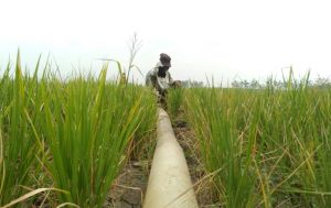 Paceklik Petani di Musim Kemarau, Padi Mengering Jadi Pakan Ternak