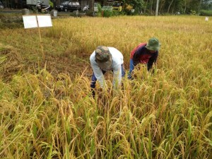20 Hektare Lahan Padi Bisa Puso