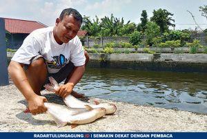 Stok Ikan Patin Melimpah, Harga Anjlok