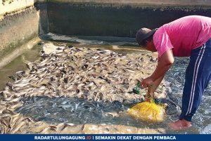 Dua Minggu Jelang Ramadan, Segini Harga Ikan Lele