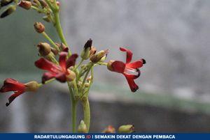 Cara Pembuatan Obat Batuk Menggunakan Bunga Belimbing Wuluh