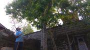 Cempaka Beng, Satu Pohon Hasilkan Ratusan Bunga Per Hari