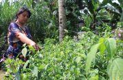 Sembuhkan Penyakit Kronis, Daun Urat Merah Dijual Rp 1.000 per Lembar