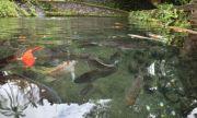Ada Ikan Berusia Puluhan Tahun di Klebutan Pura Mengening