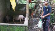 Penyakit Babi di Karangasem Mewabah ke Lima Desa
