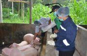Kematian Mereda, Peternakan Babi Masih Seret