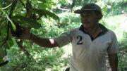 Tak Henti Diserang PBK, Petani Kakao Beralih Tanam Kopi