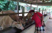 Warga Taro Khawatir dengan Pelestarian Lembu Putih, Ini Penyebabnya