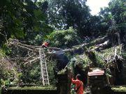 BPBD Gianyar Siaga 24 Jam Tangani Pohon Tumbang dan Longsor
