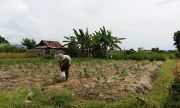 Lahan Kian Menyusut, Alokasi Pupuk Subsidi Petani Klungkung Turun