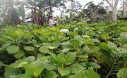 Petani Bunga Pecah Seribu Buleleng Semringah, Harga Bunga Stabil