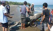 Terdampar di Pantai Sumbersari, BPSPL Cek Penyebab Kematian Hiu Koboi