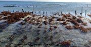 Disapu Ombak, Rumput Laut Siap Panen Petani Nusa Lembongan Hanyut