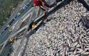 Dinas PKP Pastikan Ikan Nila Mati Terpapar Belerang Tak Bisa Dimakan