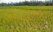 Subak Tungkub Mengwi kekeringan, Petani Terancam Gagal Panen