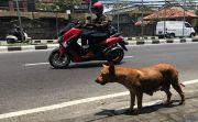 Vaksinasi 510 Ekor Anjing Liar, Kadisnak Klaim Rabies di Bali Turun