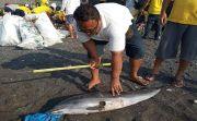 Miris, Lumba-Lumba Terdampar di Pantai Gumicik dengan Sirip Berlubang