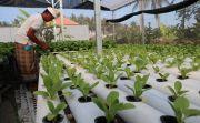 Produksi Melimpah, Petani Hidroponik Gianyar Terkendala Pemasaran