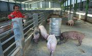 Kematian Babi di Tabanan Kian Meluas, Distan Pasrah Hanya Bisa Mendata