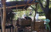 Babi Mati di Bungkulan Terus Bertambah, BB Veteriner Turun ke Buleleng