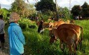 Maedeng, Tradisi Warga Susut Cari Sapi Pilihan Jelang Tawur Kesanga