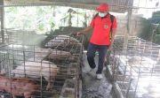 Seratusan Babi Mati Mendadak, Distan Semprot Kandang Babi Peternak