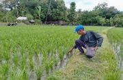 HKTI Kembangkan Benih Padi M70D di Buleleng Bali, Usia Panen 70 Hari