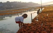 Pemkab Klungkung Jalin Kerja Sama Jaga Stabilitas Harga Rumput Laut