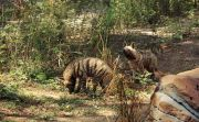 Minim Pemasukan, Korbankan Satwa Herbivora Jadi Makanan Harimau