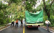 Rapuh, Pohon Juwet Tumbang Tutup Jalur Padangbai