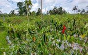 Cabai dan Tomat Mendadak Busuk, Petani Karangasem Terancam Merugi