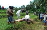 OMG!! Kelelahan Bajak Sawah, Petani Kerambitan Tabanan Tewas di TKP