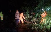 Hujan Lebat, Pohon Tumbang Ganggu Arus Lalin Amlapura - Singaraja