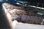 Restocking 1.342 Ekor Babi Jelang Galungan, Klaim Stok Daging Aman