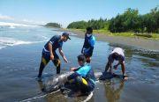 Sirip Terluka, Lumba - lumba Terdampar di Pantai Tembles Mendoyo