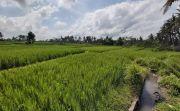 Banyak Petani di Gianyar Tak Ikut Asuransi Usaha Tani