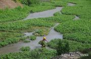 Warga Bimorejo Manfaatkan Aliran Waduk Bajulmati Jadi Ladang Kangkung