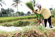 Hektaran Tanaman Padi Songgon Diserang Hama Tikus, Petani Panen Dini