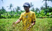 Lahan Setengah Hektare Bisa Beli Enam Ekor Sapi