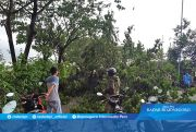 Pohon Tumbang, Pemotor Dibawa ke RSUD
