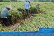 Asuransi Pertanian Hanya Kaver Petani Padi dan Usaha Ternak
