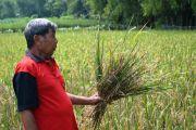 Padi Diserang Hama Potong Leher, Petani Jombang Waswas Produksi Turun