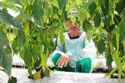 Harga Jual Tinggi, Petani di Jombang Semangat Tanam Cabai