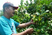 Jeruk Lemon Asal Catak Gayam Mojowarno Laris saat Pandemi Covid-19