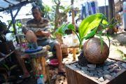 Belajar Otodidak, Warga Wonosalam Ini Kreatif Membuat Bonsai Kelapa