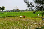 Sejumlah Petani di Jombang Masih Kebingungan Cari Pupuk Subsidi